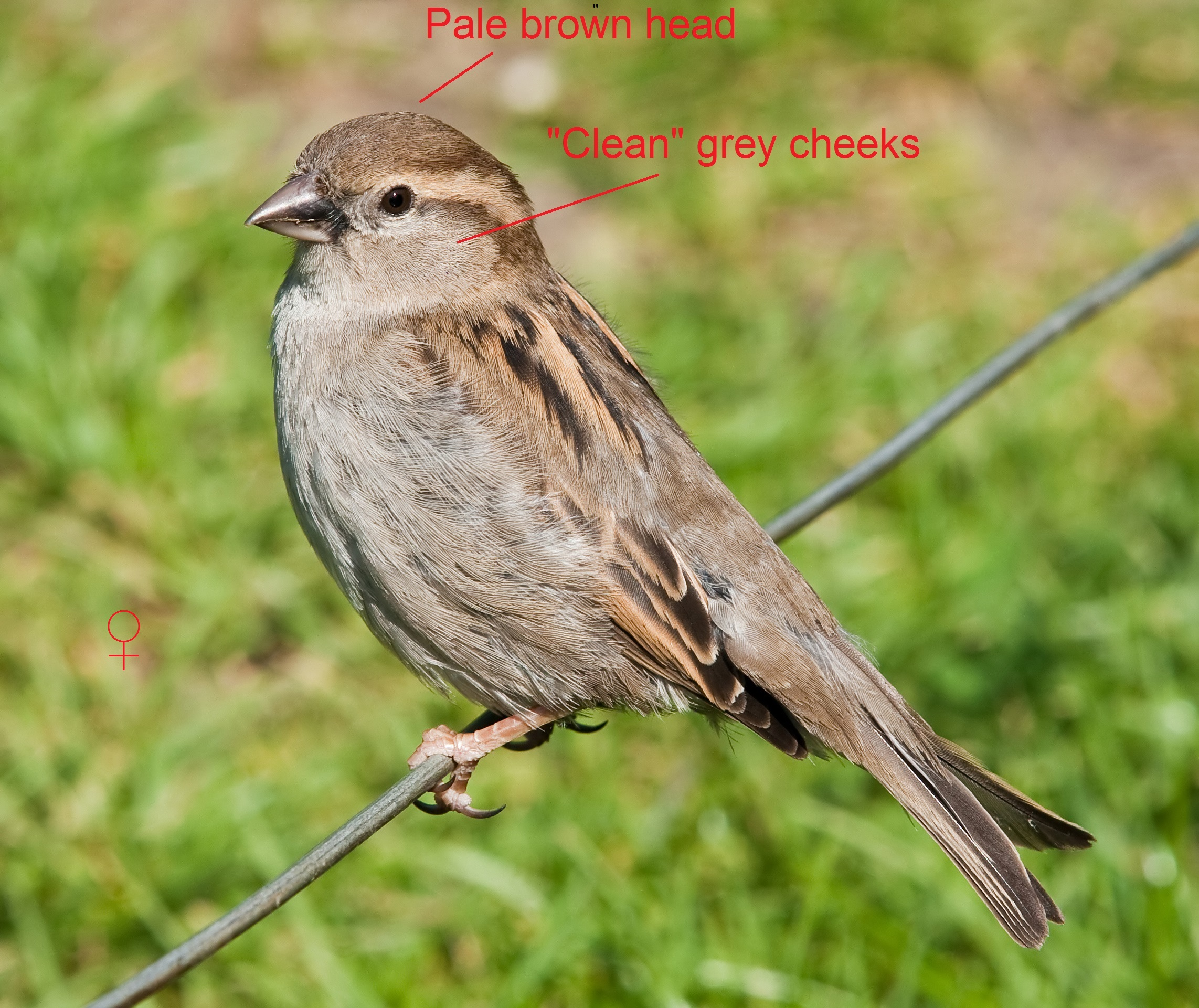 the difference between houses and trees (sparrows) | my wild life